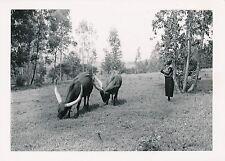 URUNDI  c. 1930 - Paysage Paysan Boeufs Watusi Afrique - P 1565