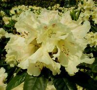 Rhododendron großblumige Hybride Brasilia 30-40cm Frühlingsblüher