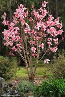 5 Bright Pink Magnolia Seeds LILY FLOWER TREE Fragrant Magnol Liliiflora 587