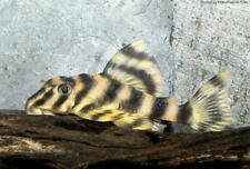Premium Clown Pleco L103 - live freshwater aquarium fish 2inches