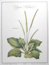 (BOTANIQUE) Grand Plantain. Belle et grande illustration en couleurs sur vergé