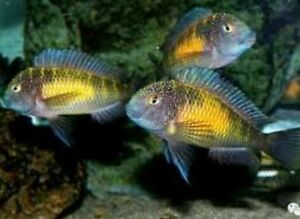 Pineapple Tropheus  - VERY RARE