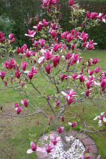 Magnolia Soulangeana -Baum Pflanze Topf Garten K-P86 1x Tulpen-Magnolie