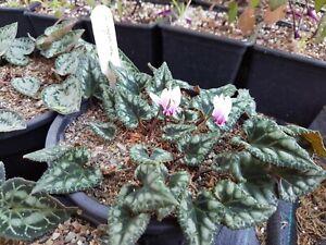 Cyclamen graecum subsp.candicum,  20 seeds