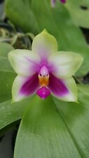 Orchid Species : Phalaenopsis bellina orchid species plant 2 plants Fragrant