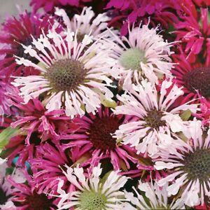 Monarda didyma 'Milano Mix' / Bergamot / Beebalm / Hardy Perennial / 100 Seeds