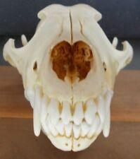 "7"" to 7.5"" Coyote Skull Head Bones Taxidermy Canine Jaw teeth arts & crafts Howl"