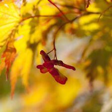 Érable du Japon 'Ariadne' Acer palmatum Ornement baumtopf cultivé env. 60cm