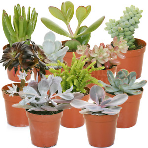 Succulent Mix - 10 Plants - House / Office Live Indoor Pot Plant - Ideal Gift