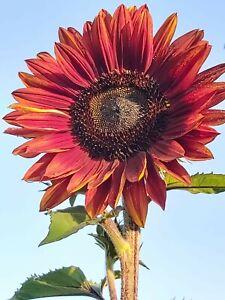 """30 Samen rote Riesen Sonnenblume"""""""" wunderschön . RIESENSONNENBLUME"""