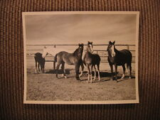 Arabian Broodmares & Foals of Joder Arabian Farm Boulder, CO 1950's Horse Photo