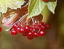 American Highbush cranberry fruit tree seedling  shrub edible berry LIVE PLANT