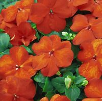 50 Impatiens seeds impatiens sun and shade Harley Orange