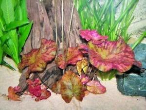Tiger Lotus Red (Nymphaea zenkeri) Live Aquarium Plants Buy 2 Get 1 Free