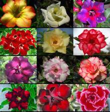 New listing 12 Pcs mixed colors , Adenium obesum Desert Rose seeds perennial Bonsai flower,