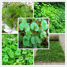 200pcs/ Lot Dichondra Repens Lawn Grass Hanging Decorative Garden Plants Do Flow