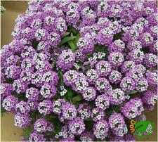Aliso Compacto Violeta ( Alyssum maritimum ) 500 semillas - seeds Lobularia