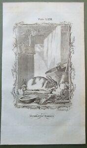 Domestic Rabbit Antique Print Copper Plate Engraving Natural History Buffon 1785