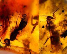predatism Roach& millipede&wasp Burmite Myanmar Amber insect fossil dinosaur age