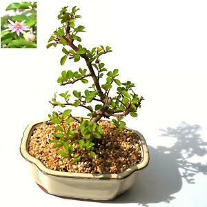 Lavender Star Bonsai Tree - Medium - DIY  FLOWERING BONSAI TREE