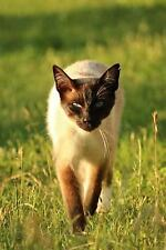 Siamese Cat Stalking You Journal : 150 Page Lined Notebook/Diary by C. S.