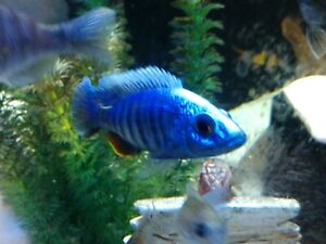 6 Pack - Electric Blue Ahli - African Cichlid