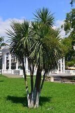 die Keulen-Lilie - eine Blume, die so groß werden kann wie ein Baum !