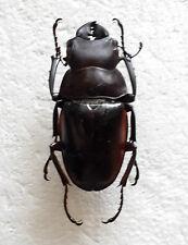 RARE LUCANIDAE: Odontolabis hitam hitam MALE 51+ mm, Sabah, Borneo, Malaysia, A1