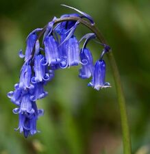 250 ENGLISH BLUEBELL BULBS Hyacinthoides Non Scripta Flowering 'In The Green'