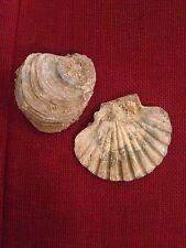 Coppia Di Fossile Conchiglia (Calabria) - Ottimo Stato