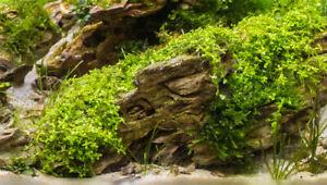 *BUY 2 GET 1 FREE* Dwarf Baby Tears Carpet Plant Hemianthus Callitrichoides ✅