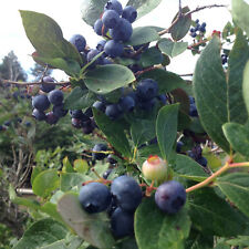 35 Northern Highbush Blueberry Plant Seeds