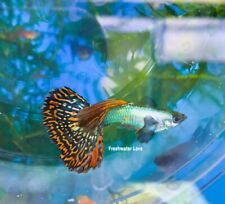 1 TRIO - Live Aquarium Guppy Fish High Quality - Dumbo Red Mosaic 1M/2F