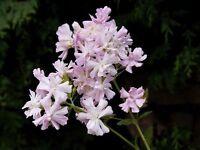 Garten Blumen Samen Rarität seltene Pflanzen schnellwüchsig SEIFENBLUME