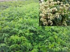 Tausendblütenstrauch Honigesche Tetradium daniellii Bienenbaum Euodia hu
