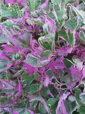 3 Rooted Cuttings - TricolorSweet Potato Vine, Ipomoea Batatas - Pnk, Grn, Wht