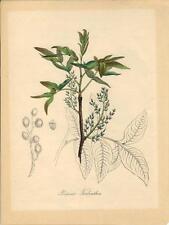 Stampa antica FIORI TEREBINTO PISTACIA TEREBINTHUS 1842 Old antique print