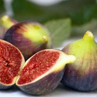 Fig Ficus Celeste Carica Live Plant 3-Inch Deep Pot Indoor Outdoor Plant Garden