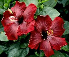 **BLACK DREAM** Rooted Tropical Hibiscus Plant**Ships In Pot**