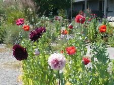 Garden Mix Somniferum Poppy Seeds Huge Variety 5000+  *Shelley aka PoppyQueen👑