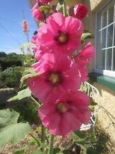 Hollyhock Alcea seeds x 30 Raspberry Pink Hardy Border Perennial seeds