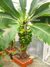 200 pcs Fresh Musa Acuminata edible Dwarf Banana tree plant seeds tropical fruit