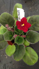 African Violet Plant- Buffalo Hunt (2 inch potted plant)