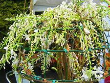 Wisteria longissima alba - GRAFTED white wisteria  10ft size!