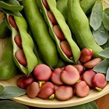 Vegetable - Broad Bean Karmazyn - Pink Seeded - 25 seeds