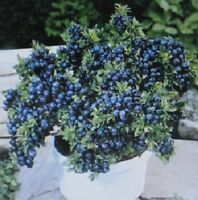 * DWARF * TOP HAT * LOADS OF FRUIT * BEAUTIFUL IN CONTAINERS * BONSAI SPECIMEN