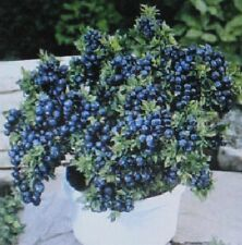 * DWARF * TOP HAT *BLUEBERRY BULK 1000 COUNT  * CONTAINER * BONSAI SPECIMEN