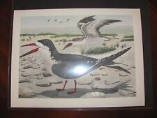 Original   Rex Brasher #80  Hand Colored Bird Print  Black Skimmer #80aREX2 DSS