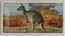 Great Kangaroo Australia Marsupial 1924 Trade Ad Card