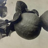 c1909 Oranges Lodi California Citrus RPPC Postcard